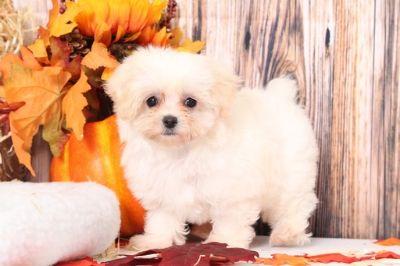 Maltipoo PUPPY FOR SALE ADN-104955 - Nico Adventurous Male MaltiPoo Puppy