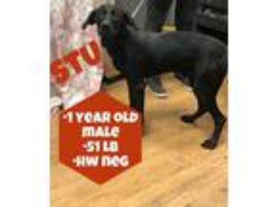 Adopt Stu a Black Labrador Retriever / Border Collie / Mixed dog in Waldwick