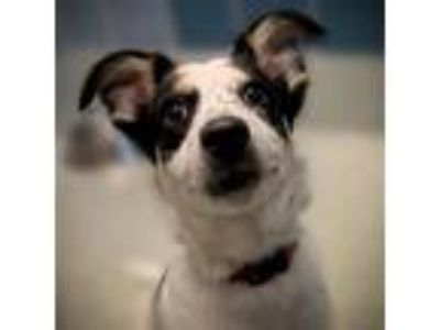 Adopt Domino a Australian Shepherd / Labrador Retriever / Mixed dog in Houston