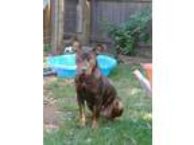 Adopt tonya a Brown/Chocolate - with Tan Doberman Pinscher / Boxer / Mixed dog