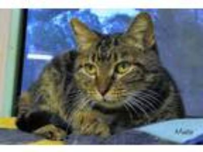 Adopt Miata a Domestic Short Hair
