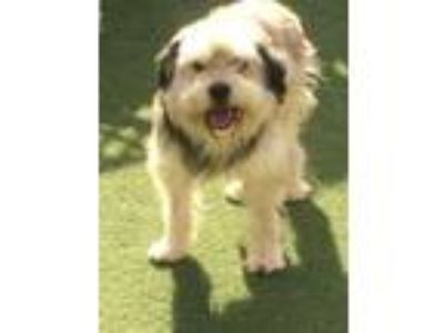 Adopt Bear & Max a Old English Sheepdog, Bearded Collie