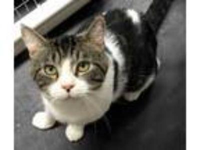 Adopt Pork Chop a White Domestic Shorthair / Domestic Shorthair / Mixed cat in