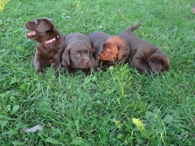 Labrador Retriever PUPPY FOR SALE ADN-99492 - AKC Chocolate Labrador puppies