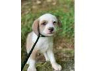 Adopt Elijah a White - with Gray or Silver Cocker Spaniel / Mixed dog in Newark