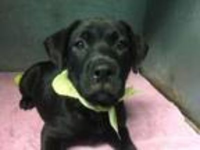 Adopt Puppy Theo a Labrador Retriever, German Shepherd Dog