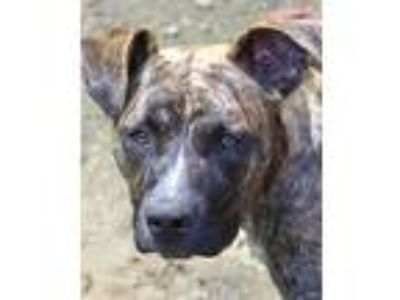 Adopt Sterling a Brindle Pit Bull Terrier / Basset Hound / Mixed dog in Mohegan