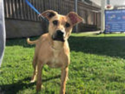 Adopt NAIRA a Tan/Yellow/Fawn Labrador Retriever / Mixed dog in Sugar Land