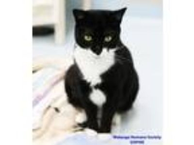 Adopt Sophie a All Black Domestic Shorthair / Domestic Shorthair / Mixed cat in