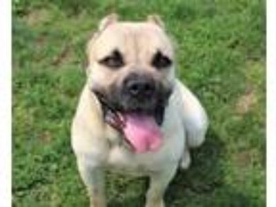 Adopt Jupiter a Tan/Yellow/Fawn Cane Corso / Mixed dog in Valley View