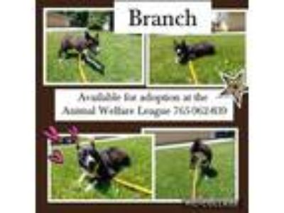 Adopt Branch a Karelian Bear Dog, Border Collie