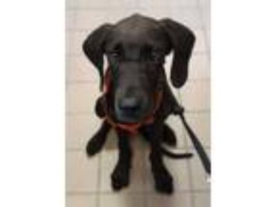 Adopt 42134876 a Black Great Dane / Mixed dog in Mesquite, TX (25778171)