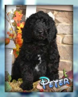 Peter Male Labradoodle F1b