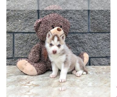 Siberian Husky PUPPY FOR SALE ADN-130232 - Tamara The Siberian Husky