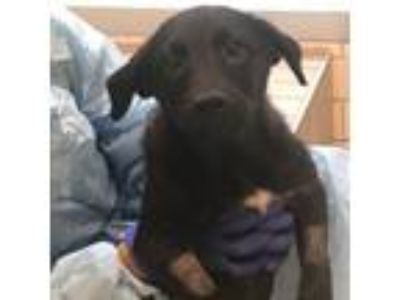 Adopt Lorna a Black Retriever (Unknown Type) / Mixed dog in San Francisco