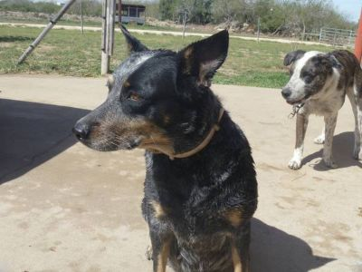 TEXAS HEELERS (EDINBURG, TX)