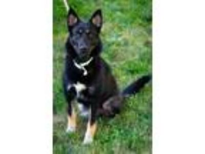 Adopt Lunabelle a Black - with Tan, Yellow or Fawn Shepherd (Unknown Type) /