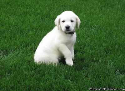 mndbdh=sjvj= Labrador Retriever puppies for sale