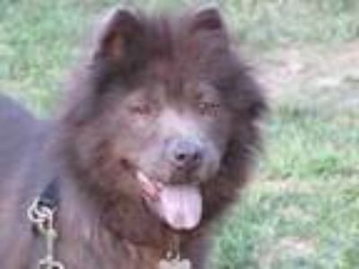 Adopt Chinny Chow a Brown/Chocolate Chow Chow / Mixed dog in West Allis