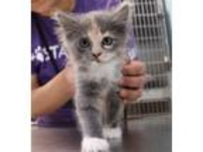 Adopt Sonya a Domestic Longhair / Mixed cat in Sioux City, IA (25291472)