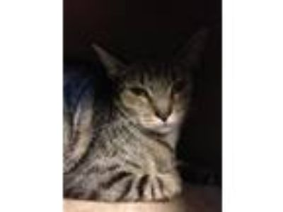 Adopt Stormy a Gray, Blue or Silver Tabby American Shorthair / Mixed (short