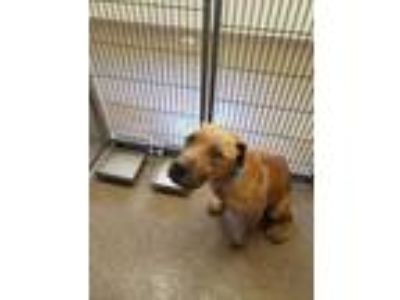 Adopt Deoge a Tan/Yellow/Fawn American Pit Bull Terrier / Mixed dog in
