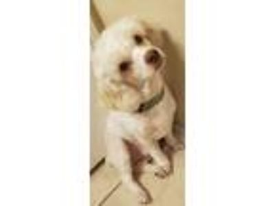 Adopt Jake a White Poodle (Miniature) dog in Rockwall, TX (25622236)