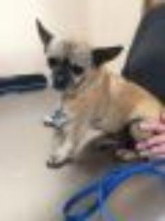 Penny Pug - Chihuahua Dog