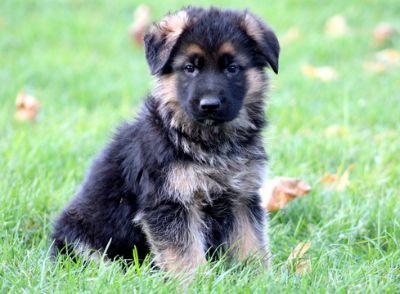 German Shepherd Dog PUPPY FOR SALE ADN-52142 - German Shepherd Puppy For Sale