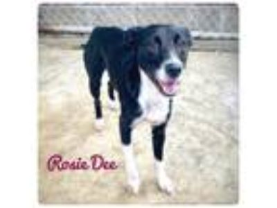 Adopt Rosie Dee a Border Collie / Mixed dog in Ocala, FL (25905202)