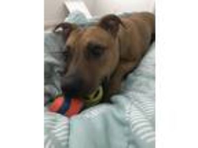 Adopt Indy a Tan/Yellow/Fawn - with White Labrador Retriever / Boxer / Mixed dog