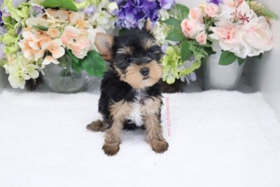 Yorkshire Terrier - Chloe - Female