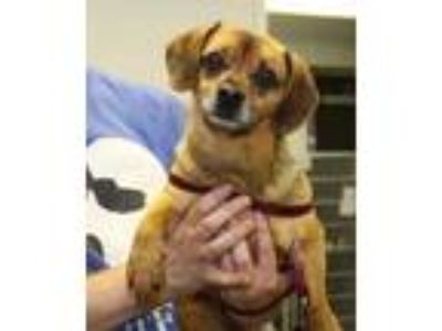 Adopt Bea a Brown/Chocolate Beagle / Pug / Mixed dog in Philadelphia