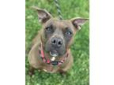 Adopt Lillian a Pit Bull Terrier / Mixed dog in Columbus, OH (24848236)