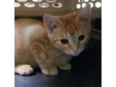 Adopt Bentley a Domestic Short Hair