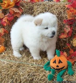 FHJYRWEYU CHOW CHOW PUPPIES AVAILABLE FOR SALE Text: (4O4) 692 XX 3714