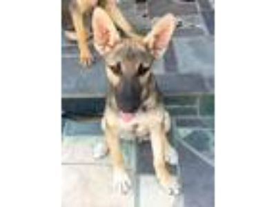Adopt DINGO a Tan/Yellow/Fawn - with Black German Shepherd Dog / Shepherd