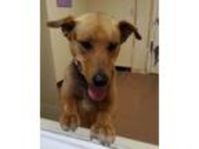 Adopt Ares a Brown/Chocolate - with Black German Shepherd Dog dog in Lyndon