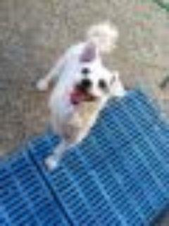 Linda (courtesy listing) Lhasa Apso Dog