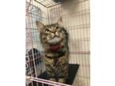Adopt Suess a Brown or Chocolate (Mostly) Domestic Longhair (long coat) cat in