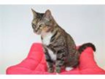 Adopt Emily Rose a Domestic Short Hair