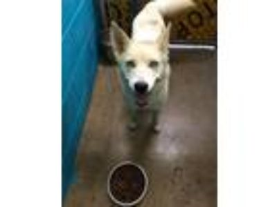 Adopt 14830 a White Husky dog in Chatsworth, GA (25275344)
