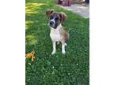 Adopt Carter a Brindle Australian Shepherd / Hound (Unknown Type) / Mixed dog in