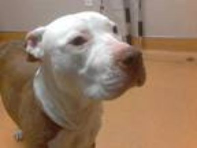 Adopt FOGGY a Tan/Yellow/Fawn - with White American Pit Bull Terrier / Mixed dog