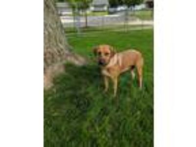 Adopt Leslie a Red/Golden/Orange/Chestnut - with Black Labrador Retriever /