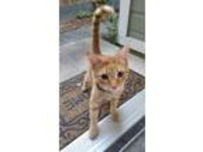 Adopt Hobbes a Orange or Red Tabby Domestic Shorthair / Mixed cat in San