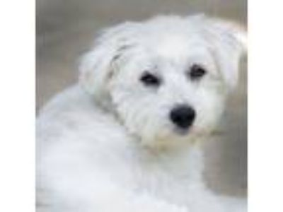 Adopt Parker a West Highland White Terrier / Westie, Poodle