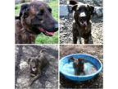 Adopt SARGE a Brindle Great Dane / Plott Hound / Mixed dog in Rootstown