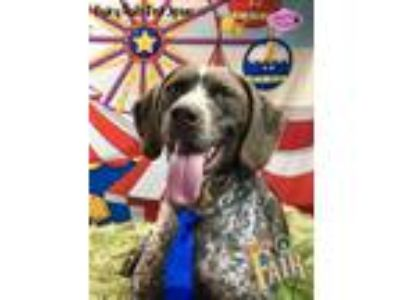 Adopt Cooper a White - with Brown or Chocolate German Shorthaired Pointer /