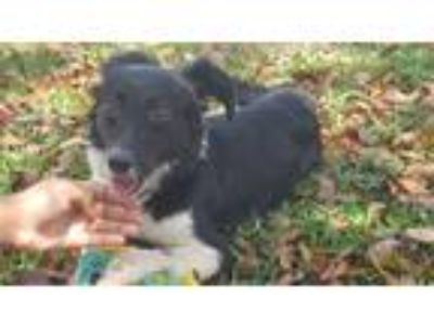 Adopt Hope a Black - with White Border Collie / Terrier (Unknown Type